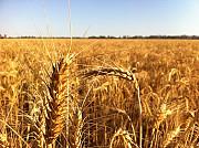 Зернові відходи. Олійні, бобові зерновідходи Чернігів