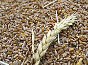 Постоянно закупаем зерноотходы масличные, зерновые, бобовые! Кропивницкий