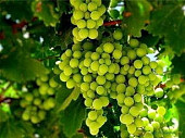 Фермерское хозяйство 56 Га. (виноградники, сад)