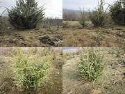 Саженцы можжевельника съедобного, Juniperus, Верес обыкновенный, куст Киев