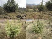Саженцы можжевельника съедобного, Juniperus, Верес обыкновенный, куст