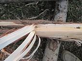 Можжевельник древесина, ветки, иглы, хвоя.